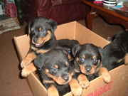Gorgeous rottweiler puppies for sale